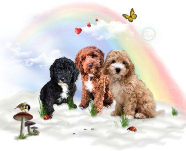 1aa Cockapoo4u Puppy