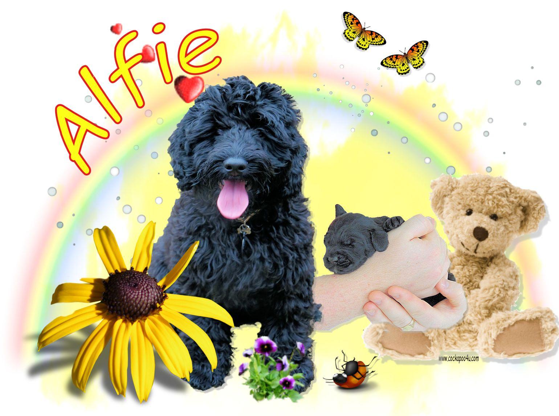 1 Alfie.jpg