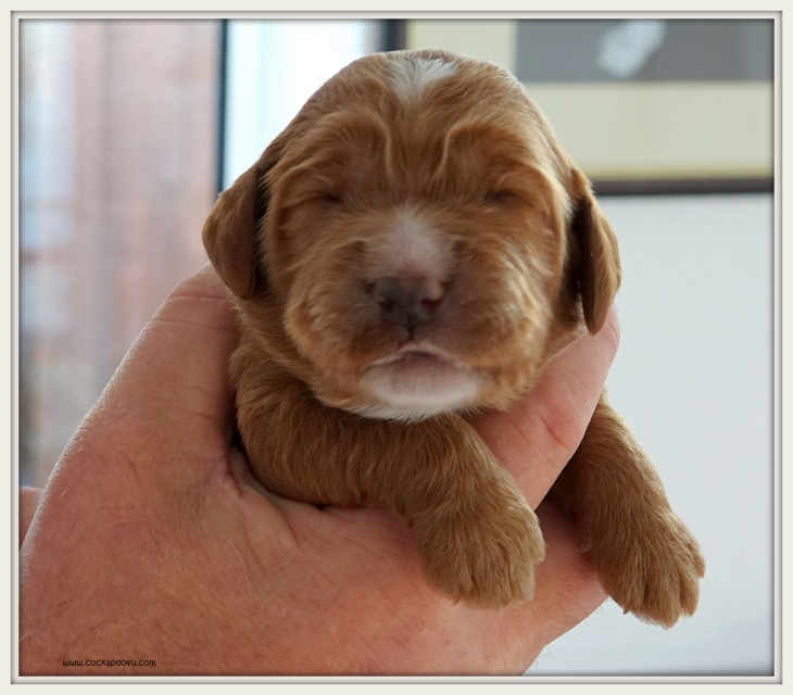 Golden Girl 10 days old (3)