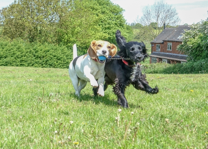 Beagle and Spaniel Playing In A Field With A Ball